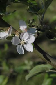 Blomma som blommar våren på Österlen och Stenshuvud