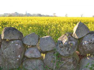 Rapsfält och stenar