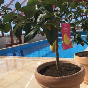 citronträd i poolen