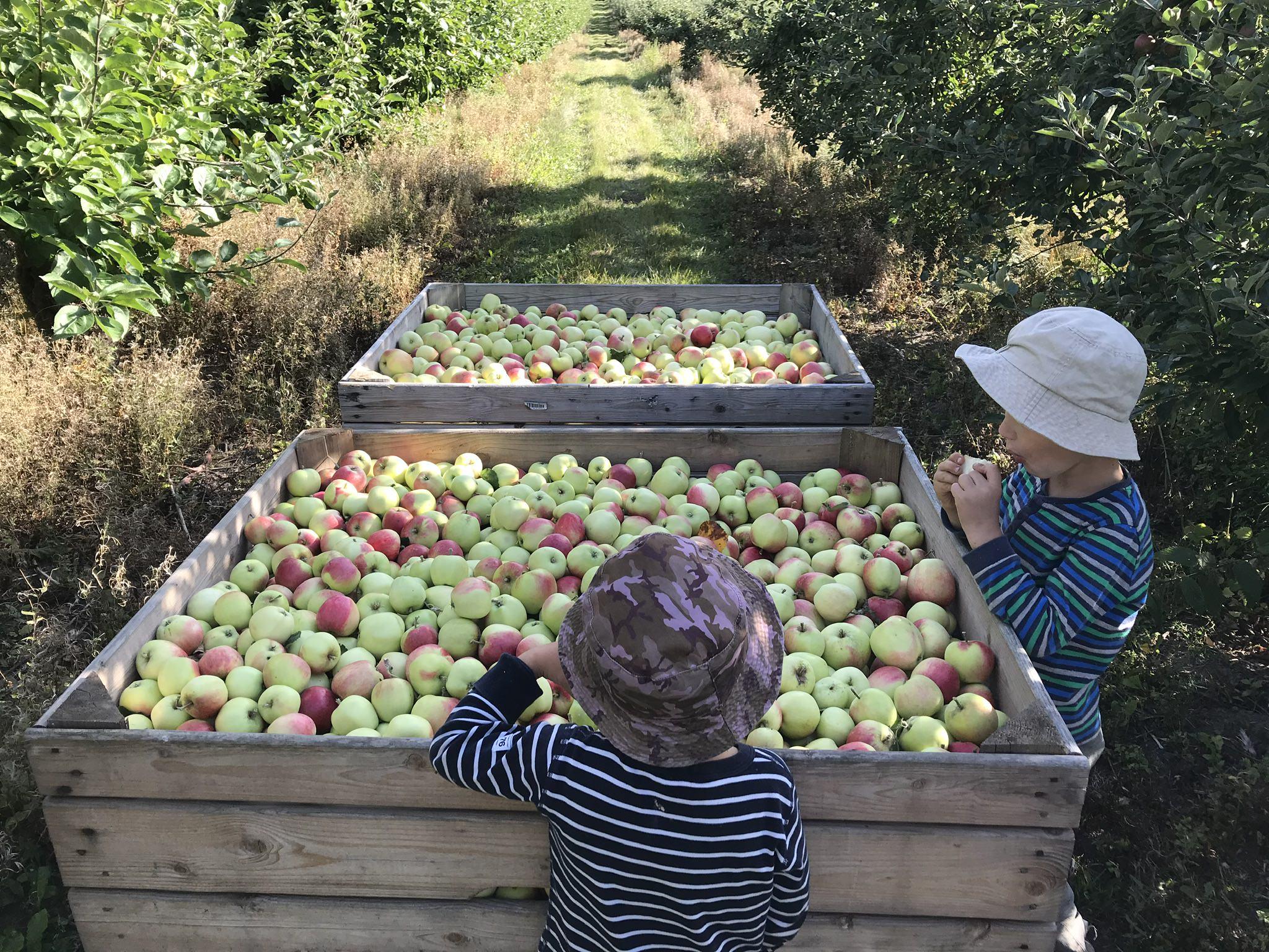 Barn vid nyplockade äpplen